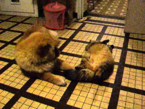 chow chow et chat